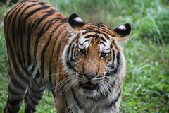 Tigre dans la forêt Image stock