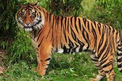Tigre dans la jungle Photo libre de droits
