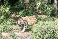 Tigre dans la jungle photographie stock libre de droits