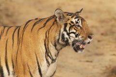 Tigre dans le sauvage Photographie stock libre de droits