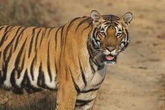 Tigre dans le sauvage Images stock