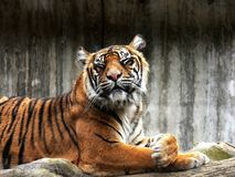 Tigre dans le zoo Photo libre de droits