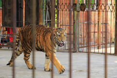 Tigre dans le zoo Images stock