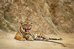 Tigre dans le zoo photographie stock libre de droits