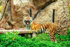 Tigre dans le zoo Images libres de droits