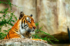 Tigre dans le zoo Image stock