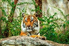 Tigre dans le zoo Image libre de droits