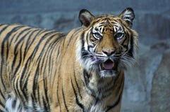 tigre dans le zoo Berlin 4 Photo stock