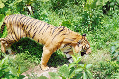 Tigre dans les broussailles Photos libres de droits