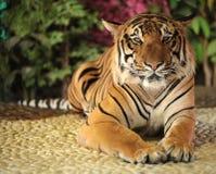 Tigre dans un zoo photo stock