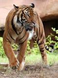 Tigre de égrappage Images stock