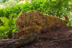 Tigre de agachamento, jardins de Butchart, Victoria, Canadá Fotos de Stock