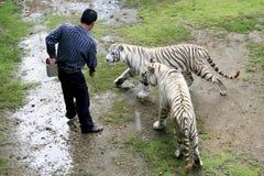 Tigre de alimentación en el parque zoológico de Tailandia Fotografía de archivo