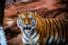 Tigre de ameaça imagens de stock