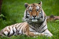 Tigre de Amur Fotografia de Stock