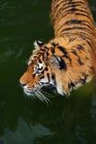 Tigre de Amur foto de archivo libre de regalías