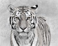Tigre de Amur Foto de Stock