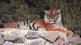 Tigre de Amur almacen de video