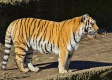 Tigre de Amur. Fotografía de archivo