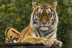 Tigre de Amur Imagens de Stock