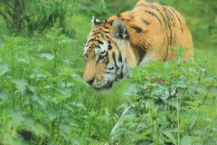 Tigre de Amur Foto de Stock Royalty Free