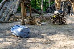 Tigre de Amur con lanas anaranjadas y blancas foto de archivo
