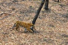 Tigre de Amur do Siberian que anda na floresta fotografia de stock