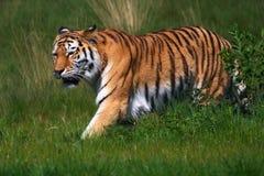 Tigre de Amur en un campo verde Imagen de archivo libre de regalías