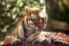 Tigre de Amur fora Imagem de Stock