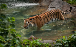 Tigre de Amur (Panthera tigris) en piscina fotos de archivo libres de regalías