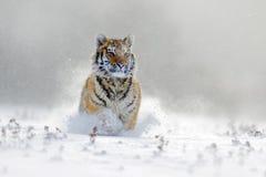 Tigre de Amur que corre en la nieve Tigre en naturaleza salvaje del invierno Escena de la fauna de la acción con el animal del pe Imagenes de archivo