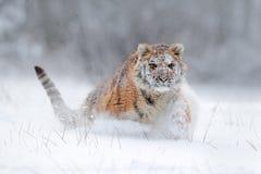 Tigre de Amur que corre en la nieve Tigre en naturaleza salvaje del invierno Escena de la fauna de la acción con el animal del pe Imágenes de archivo libres de regalías