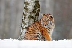 Tigre de Amur que se sienta en nieve Tigre en naturaleza salvaje del invierno Escena de la fauna de la acción con el animal del p Foto de archivo libre de regalías