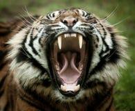 Tigre de baîllement Photos stock
