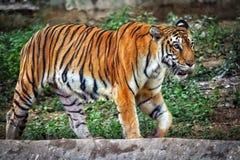 Tigre de Bangalore imagen de archivo