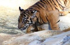 Tigre de bebé fotografía de archivo libre de regalías