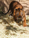 Tigre de bebé Imagenes de archivo
