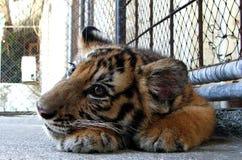 Tigre de bebé en el parque zoológico Foto de archivo libre de regalías