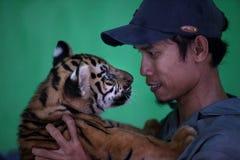 Tigre de bebé tres llevado en Ragunan Parque-Jakarta el 10 de abril de 2013 Imagen de archivo libre de regalías