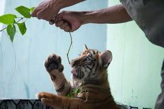 Tigre de bebé tres llevado en Ragunan Parque-Jakarta el 10 de abril de 2013 Fotos de archivo