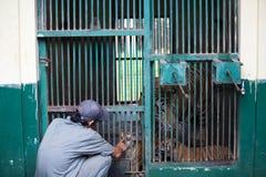 Tigre de bebé tres llevado en Ragunan Parque-Jakarta el 10 de abril de 2013 Imágenes de archivo libres de regalías