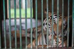 Tigre de bebé tres llevado en Ragunan Parque-Jakarta el 10 de abril de 2013 Imagenes de archivo