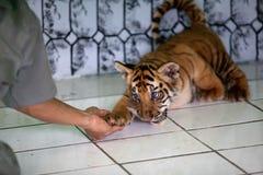 Tigre de bebé tres llevado en Ragunan Parque-Jakarta el 10 de abril de 2013 Fotografía de archivo