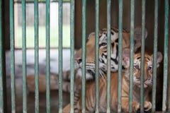 Tigre de bebé tres llevado en Ragunan Parque-Jakarta el 10 de abril de 2013 Foto de archivo libre de regalías