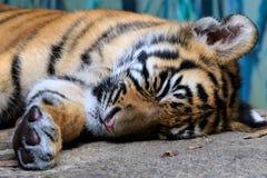 Tigre de bebê Imagem de Stock Royalty Free