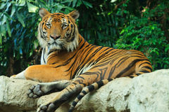Tigre de Begal étendu sur la roche Photos libres de droits