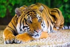 Tigre de Begal étendu sur la roche Photographie stock libre de droits