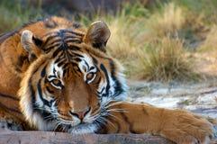 Tigre de Bengal Foto de Stock Royalty Free