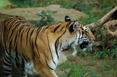 Tigre de Bengal Fotografia de Stock
