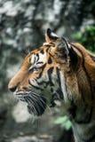 Tigre de Bengal Fotos de Stock Royalty Free